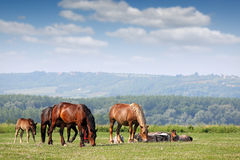 Herd of horses on pasture Stock Photos