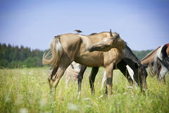 Herd of horses pasture in a valley with green field Stock Photos