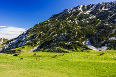Herd of horses pasturing on green grass field near mountain land. Herd of bay horses pasturing on green grass field near mountain landscape. Panoramic scenic Stock Photo