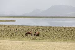 A herd of horses peacefully grazes in the steppe at Song Kul Lake. In Kyrgyzstan Stock Photo