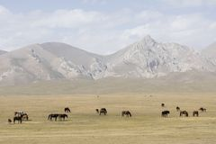 A herd of horses peacefully grazes in the steppe at Song Kul Lake. In Kyrgyzstan Royalty Free Stock Photos