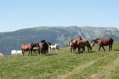 Herd of horses in Pyrenees orientales Royalty Free Stock Images
