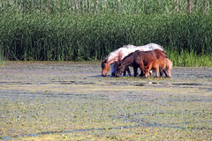 Herd of horses royalty free stock images