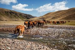 Herd of horses and river Stock Photography