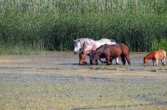 Herd of horses on river stock photography