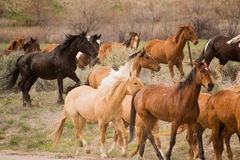 Herd of horses during roundup Stock Photos