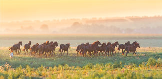 Herd of horses run at sunset Stock Photos