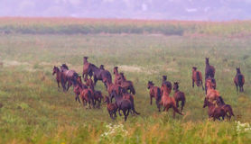 Herd of horses run at sunset Royalty Free Stock Photo