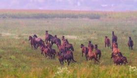 Herd of horses run at sunset Royalty Free Stock Photo