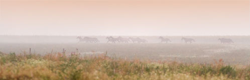 Herd of horses run at sunset Stock Photography