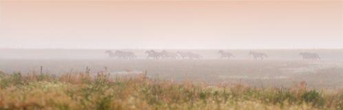 Herd of horses run at sunset Stock Photography