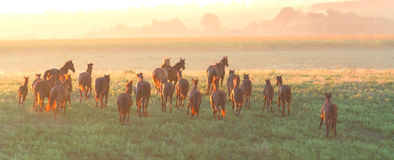 Herd of horses run at sunset Stock Images