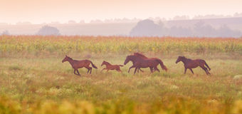 Herd of horses run at sunset Royalty Free Stock Photography