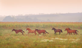 Herd of horses run at sunset Stock Image