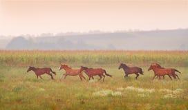 Herd of horses run at sunset Stock Image