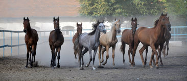 A herd of horses running Stock Photography
