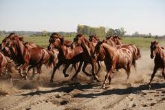 Herd of horses running through the desert summertime Stock Image