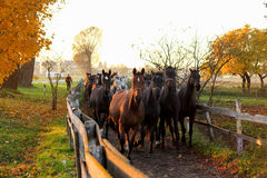 Herd of horses running down the path to the farm Stock Photo
