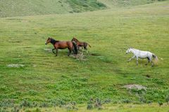 Herd of horses running in the field Stock Photos