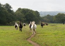 Herd of horses running through a field Stock Photography