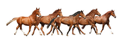 Herd of horses running free on white background Stock Photography