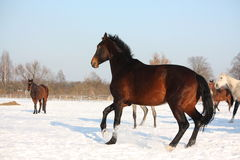 Herd of horses running free in winter Stock Photography
