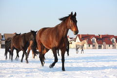 Herd of horses running free in winter Royalty Free Stock Images