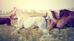 The herd of horses running gallop across the field. Royalty Free Stock Photos