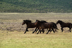 Herd of horses running through meadow Stock Image