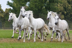Herd horses running on meadow. Herd white horses running on meadow Royalty Free Stock Photos