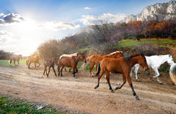 Herd of horses Stock Images