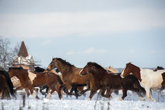Herd of horses running on the snow field Royalty Free Stock Image