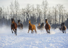 Herd of horses running in the snow. Herd of horses galloping in the snow Royalty Free Stock Image