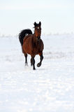 Horse. Herd of horses running through a snowy field gallop Royalty Free Stock Photo