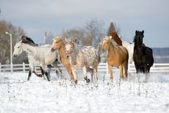 Herd of horses running through a snowy field gallop Royalty Free Stock Photo