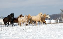 Herd of horses running through a snowy field gallop Royalty Free Stock Photography