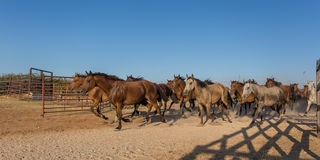 Herd of horses runs in the corral. stock photography