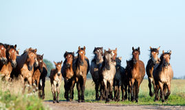 Herd of horses runs in filed Royalty Free Stock Images