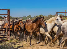 A herd of horses runs out of the corral. Stock Photos