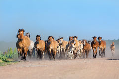 Herd of horses runs on the road Stock Photo