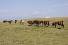 A herd of horses runs through the steppe near Song Kul Lake. A herd of horses runs through the steppe at Song Kul Lake in Kyrgyzstan Stock Photos