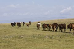 A herd of horses runs through the steppe at Song Kul Lake. In Kyrgyzstan stock image