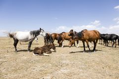A herd of horses at Song Kul Lake in Kyrgyzstan. Central asia royalty free stock photos