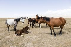 A herd of horses at Song Kul Lake. In Kyrgyzstan Stock Photo