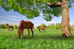 Herd of horses Royalty Free Stock Photos