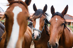 Herd of horses in a stable Royalty Free Stock Images