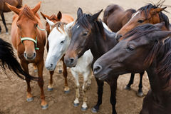 Herd of horses in a stable Stock Photos