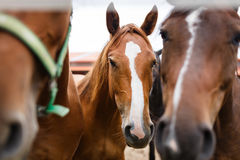 Herd of horses in a stable Royalty Free Stock Photos