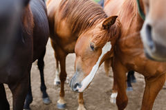 Herd of horses in a stable Stock Photography
