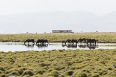 A herd of horses is standing in Song Kul Lake in Kyrgyzstan. Drinking water Stock Photos